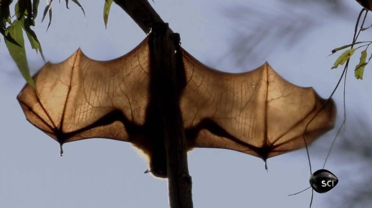 Vleermuizen dragen ziektes over op mensen
